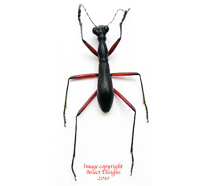 Tricondyla cyanipes cavifrons (Philippines) A1-