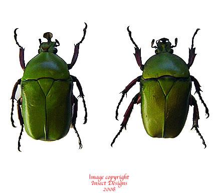Trigonophorus foveiceps (Thailand)