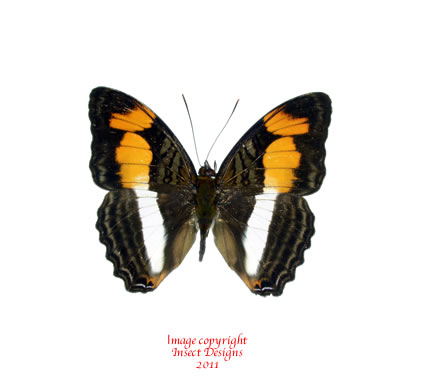 Adelpha melona (Peru)