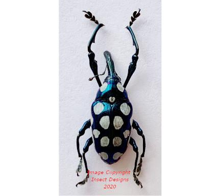 Alcidodes semperi (Philippines) A-