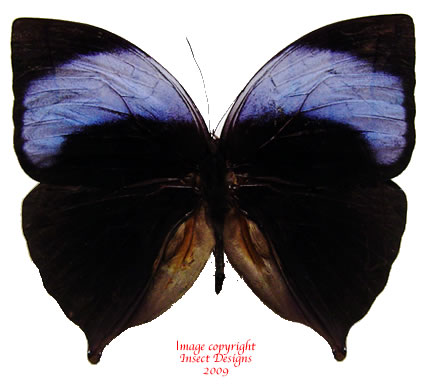 Amathuxidia amythaon (Malaysia) A2