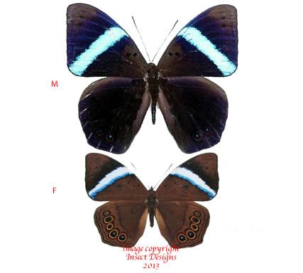 Amnosia decodra (Sumatra) A-