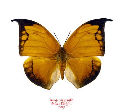 Anaea archidona (Peru)