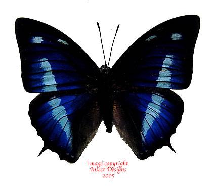 Anaea cyanea (Peru) A2