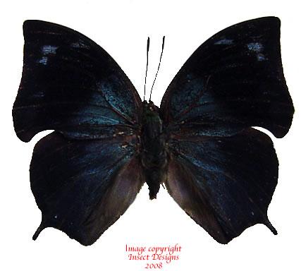 Anaea glaucone (Peru) A2