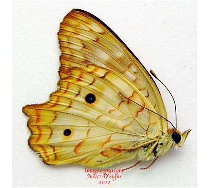 Anartia jatrophae (Peru) A-