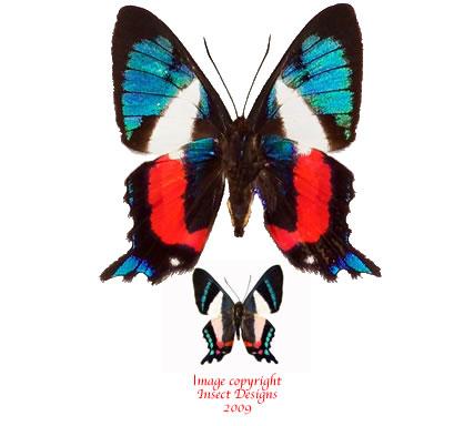 Ancyluris formosissima (Peru) A-