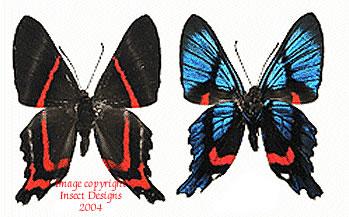 Ancyluris meliboeus (Peru)