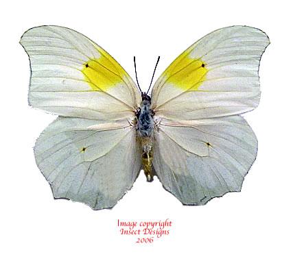 Anteos clorinde (Peru)