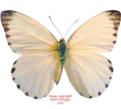 Appias sabina (RCA) A2