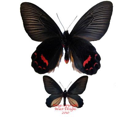 Atrophaneura dixoni (Sulawesi) A-