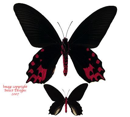 Atrophaneura semperi albofasciata (Philippines) A1 and A2
