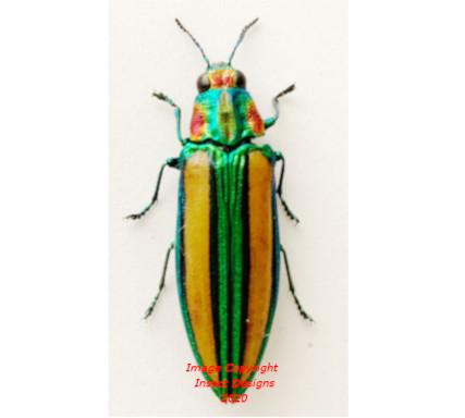 Afrochroa lepida (Tanzania)