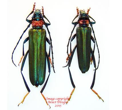Aphrodisium faldermanii (Thailand)