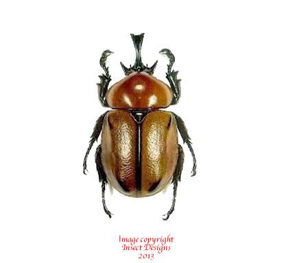 Insect DYNASTIDAE Brachysiderus quadrimaculatus Male 35mm+ ....!! Peru