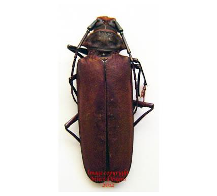 Orthomegas (callipogon) sp. (Peru)