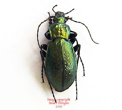 Carabus sternbergi sternbergi - green (Korea) A2
