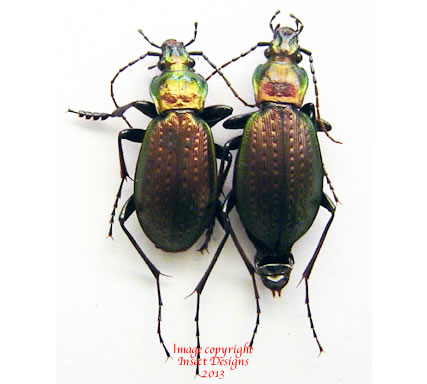 Carabus sternbergi sternbergi (Korea)
