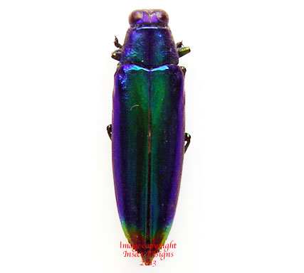 Chrysochroa fulminans cobaltina (Philippines) A2