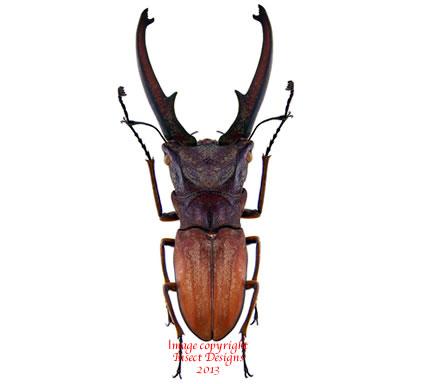 Cyclommatus canaliculatus canaliculatus (Java)