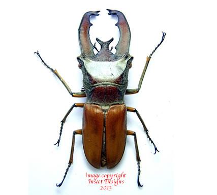 Cyclommatus lunifer (Sumatra)