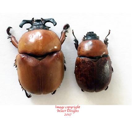 Dicaulocephalus feae gestro (Thailand)