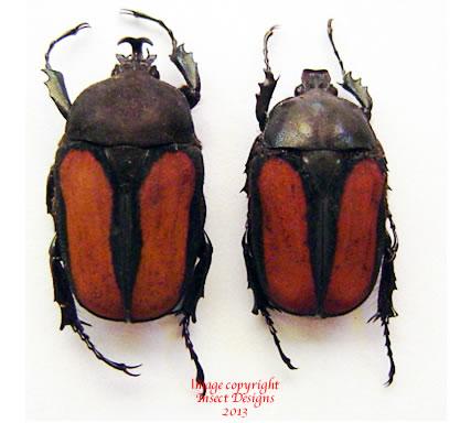 Dicellachilus woodi (Tanzania)