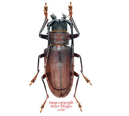 Dorysthenes buqueti (Thailand)