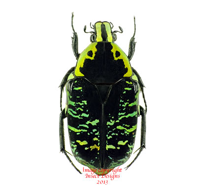 Euchroea coelestis (Madagascar) A2