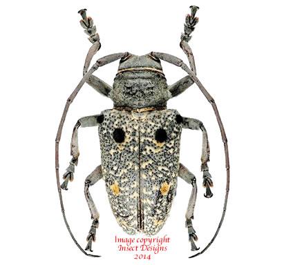 Megalofrea bioculata (Madagascar)