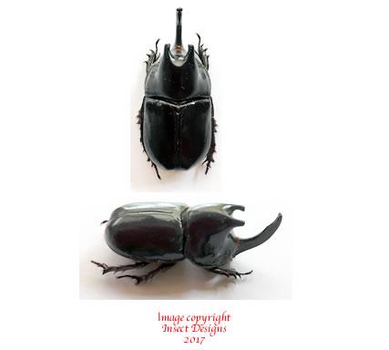 Megaceras morpheus (Peru) A2