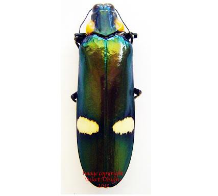 Megaloxantha bicolor nigricornis (Malaysia)