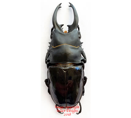 Odontolabis bellicosa (Java) - long horns