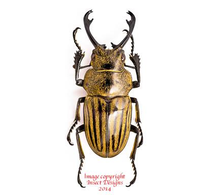 Odontolabis striata (Sumatra)