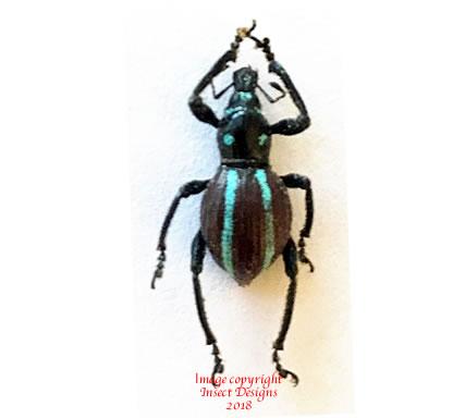 Pachyrrhynchus caeruleovittatus (Philippines)