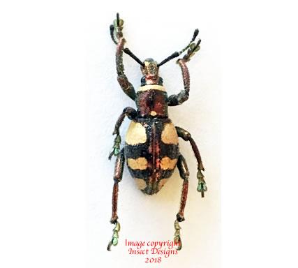 Polycatus euploides (Philippines)