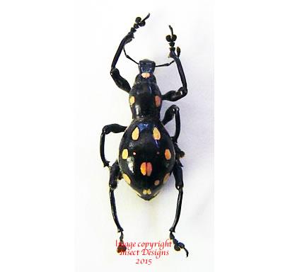 Pachyrrhynchus venustus (Philippines)