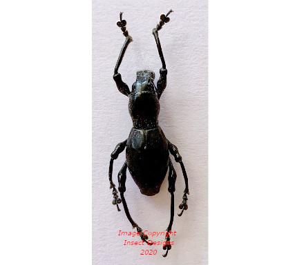 Pachyrrhynchus sp.2 (Philippines)