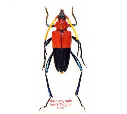 Pachyteria equestris (Malaysia)
