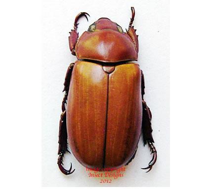 Pelidnota sp. (Ecuador)