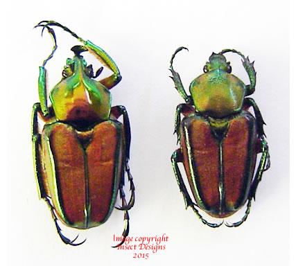 Phaedimus howdeni (Philippines) A2