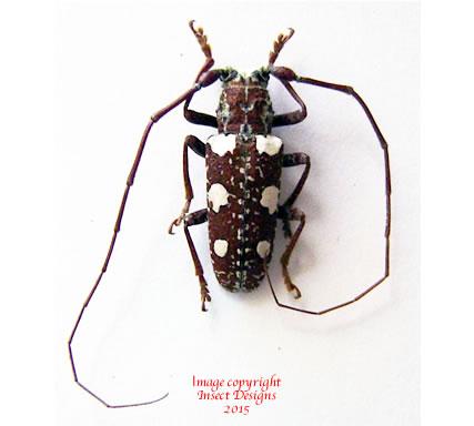 Protorhopala sexnotata (Madagascar)