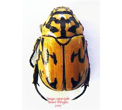 Rutelarcha negrita (Philippines)