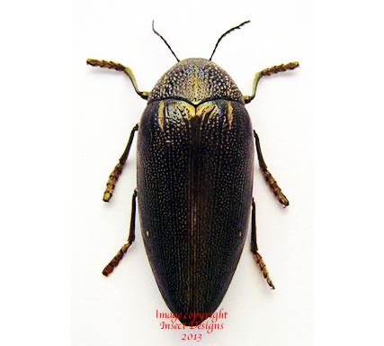 Sternocera sp.1 (Cameroon)