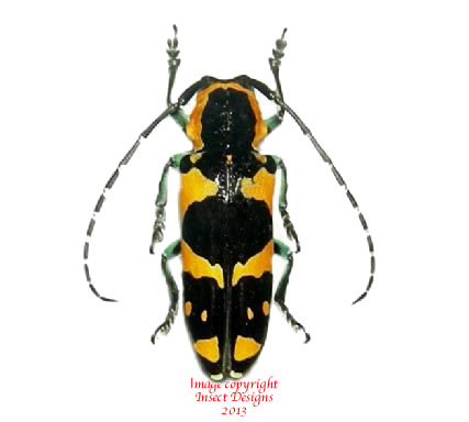 Tragocephala jucunda (Madagascar) A2