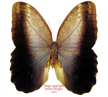Caligo brasiliensis (Colombia)