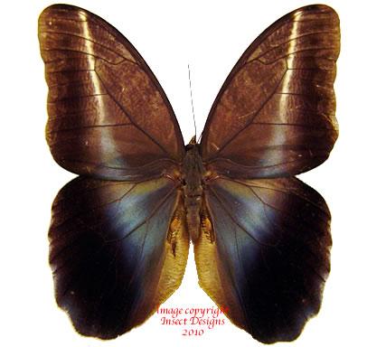 Caligo idomeneus (Peru) A-