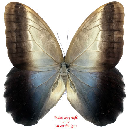Caligo oedipus (Colombia)