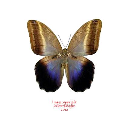 Caligo placidianus (Peru) A-