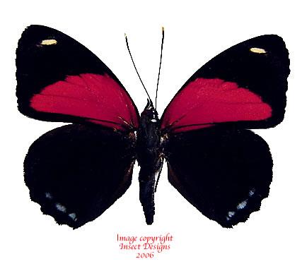 Callicore cyllene (Peru) A-
